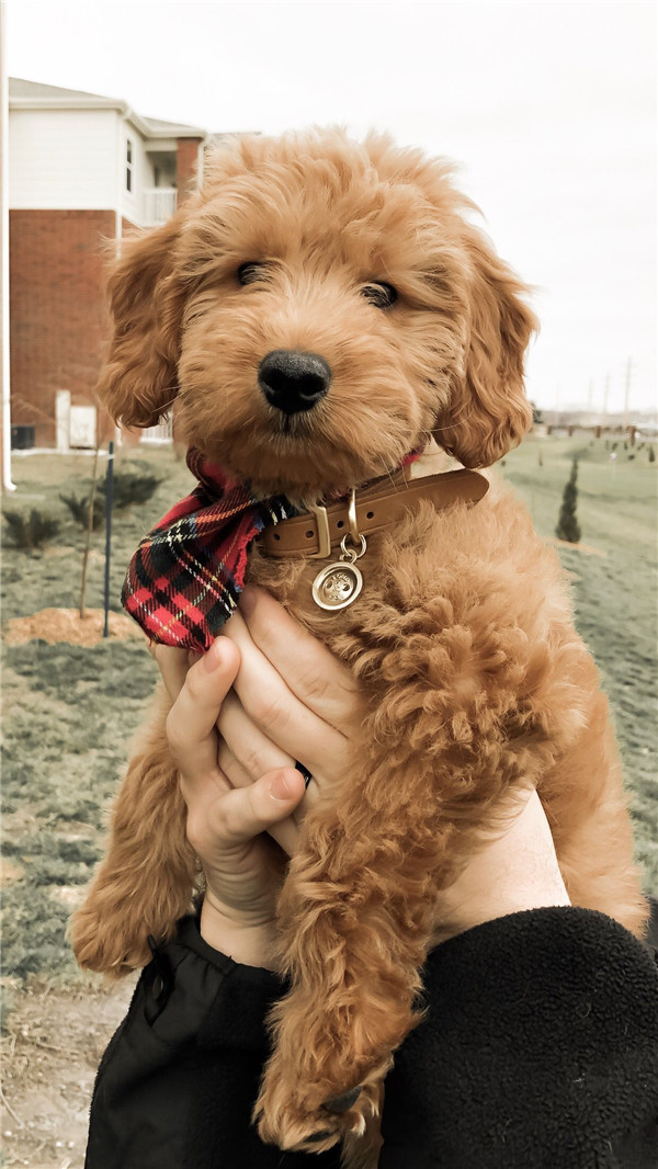 Cute Goldendoodle Puppies | Goldendoodles are the ultimate combination of good looks, smart wits, and playfulness. Check out this list of cute goldendoodle puppies that will take your breath away #Puppies #cutepuppies #Goldendoodle #goldendoodlepuppies #goldendoodlepuppy #puppy #cute puppy #cutegoldendoodlepuppy